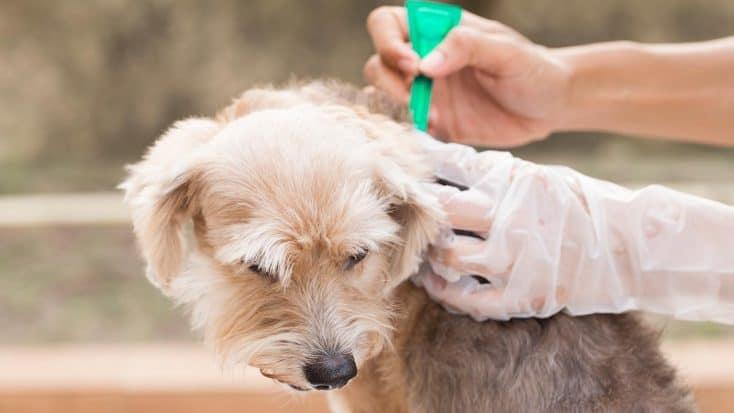 Hund bekommt ein Spot-On Mittel in den Nacken geträufelt