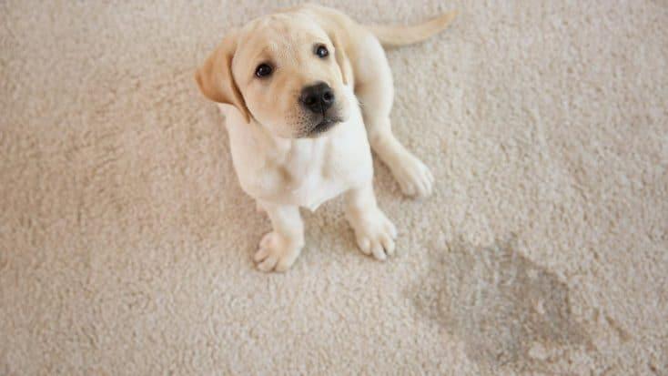 Hund stubenrein bekommen: so gelingt es dir