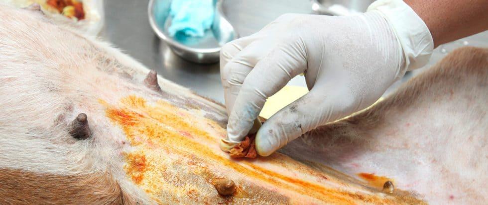 Tierarzt desinfiziert den Bauch vom Hund, für die bevorstehende OP.