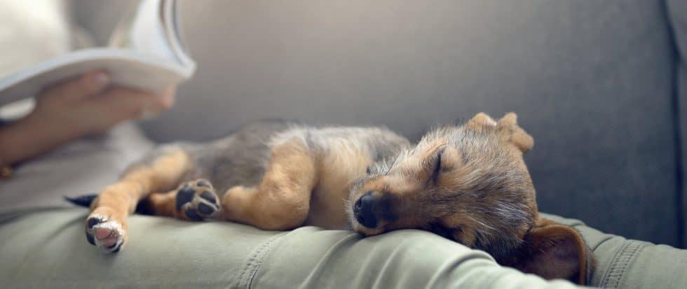 Hund schläft auf Sofa