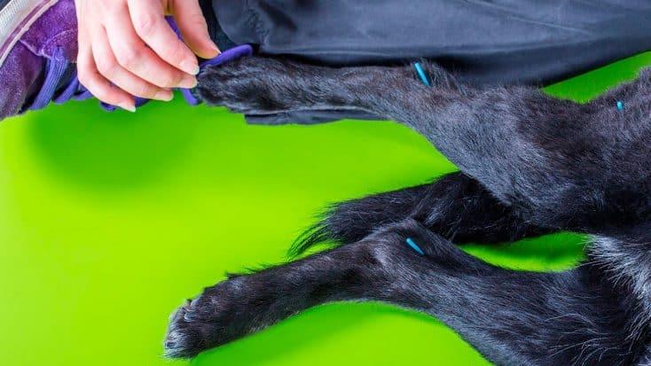 Akupunktur beim Hund