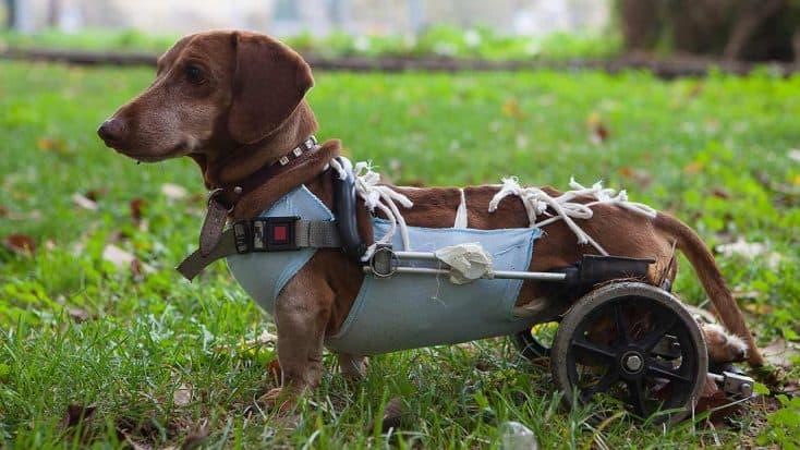 Behinderte Hunde
