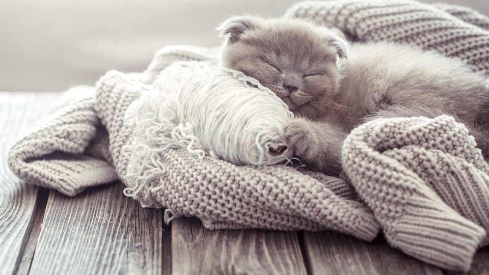 Die Hauskatze: Katzenrassen im Überblick