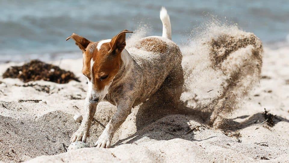 Hund buddelt am Strand