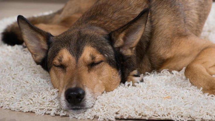 Scheinschwangerschaft bei Hunden
